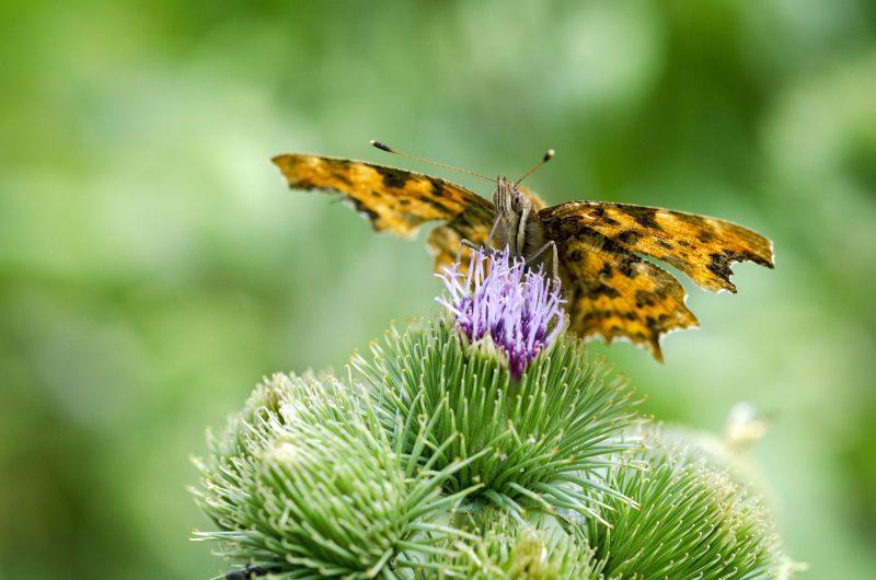 mariposa macro